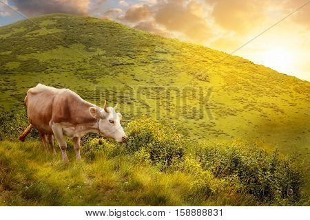 cow grazing on meadow in mountains. Cattle on a mountain pasture. Cow grazing on hill on a background of mountain scenery at sunset or sunrise. Brown cow in front of mountain landscape with sunshine