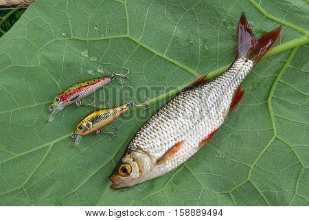 Common Rudd Fish And Fishing Baits On Natural Background.