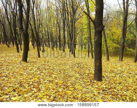 Pathway through yellow autumn maple forest .
