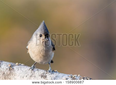 Tufted Titmouse (Baeolophus bicolor) is perched on a birch branch with golden pastel background