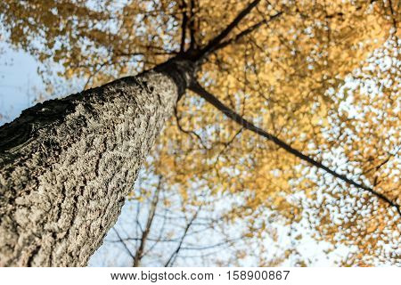 look up under a gingko tree in autumn