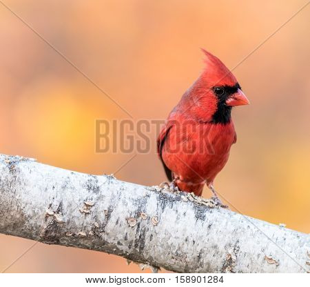 A male North American Cardinal ( Cardinalidae) is perched on a birch branch with golden leaves in background