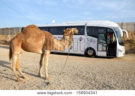TARABIN ISRAEL - NOVEMBER 09 2016: Camel on the background of a tourist bus in the bedouin settlement