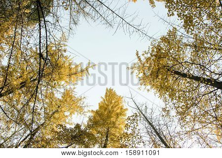look up of golden gingko trees in autumn