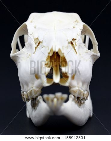 Photo of roe deer skull on white background