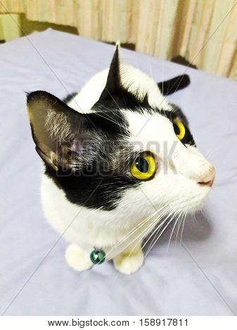 Closeup of Thai Cat in Bangkok Thailand
