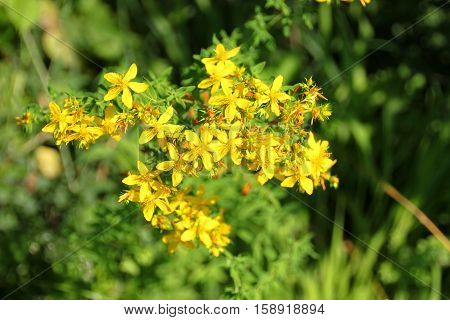 Yellow wild flower called St. John's wort