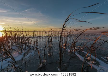 dry cane in ice on the bank of the frozen lake on a winter decline