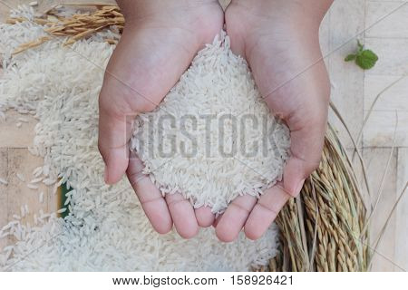 Jasmine rice and rice grains for the harvest