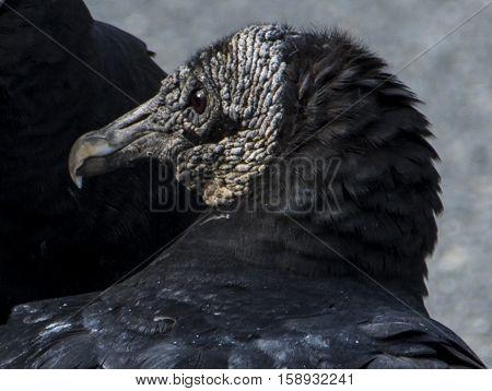 A close-up head shot of a Black Vulture (Coragyps atratus).