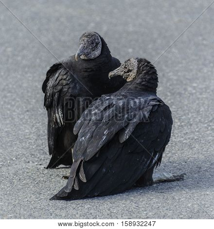 A pair of Black Vultures (Coragyps atratus) sunning.