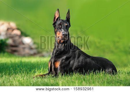 Doberman dog relaxing on green grass outdoor