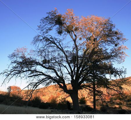 Tall black oak at dusk, San Diego County, CA