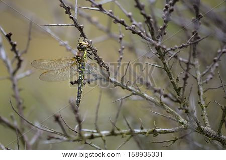 Hairy Hawker (Brachytron pratense) female resting in a Common Sea Buckthorn (Hippophae rhamnoides) in a Dune Valley