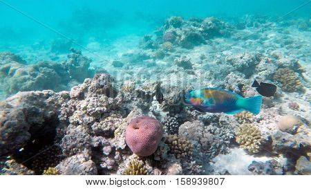 Parrot fish among the corals in the Red Sea, Egypt