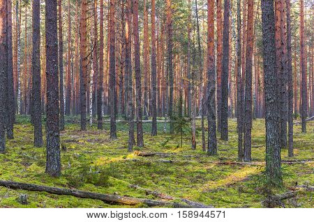 Pine forest in autumn. Autumn collecting mushrooms in a pine forest.