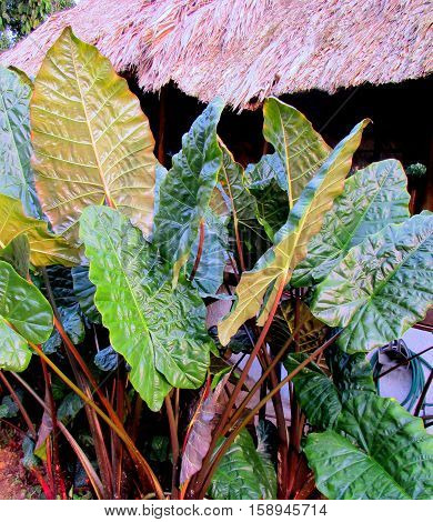 Colorful plants and leaves foilage on the island in Hawaii.