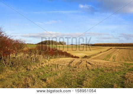 a hawthorn hedgerow with bright red fruit in an undulating straw stubble field with larch forest in a yorkshire wolds landscape under a blue sky with soft white cloud in autumn
