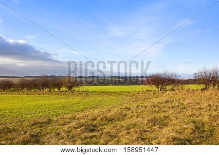 a hawthorn hedgerow with a gap and bright red fruit in an undulating yorkshire wolds landscape with young wheat crops under a blue cloudy sky in autumn