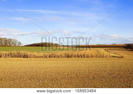 dry maize crop used for pheasant cover on chalky soil near woodland in a yorkshire wolds landscape with hills and hedgerows in autumn under a blue cloudy sky