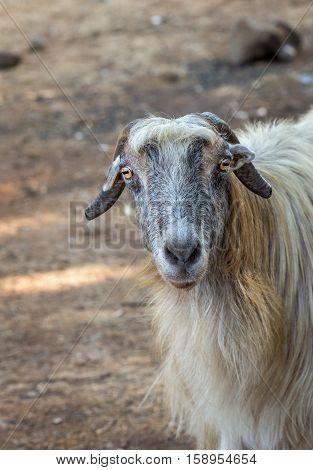 Goat with long gray hair looking at the camera. Israel.