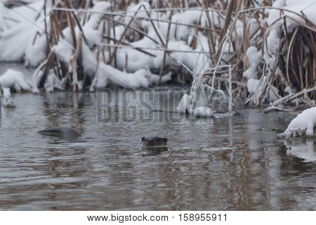 european otter (lutra lutra) in winter. Location: Comana Natural Park Romania