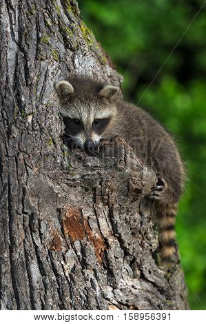 Young Raccoon (Procyon lotor) Peeks Out - captive animal