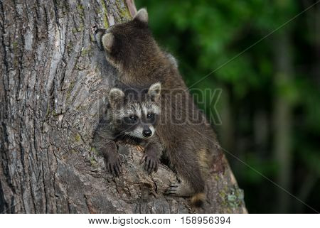 Two Young Raccoons (Procyon lotor) on Tree - captive animals