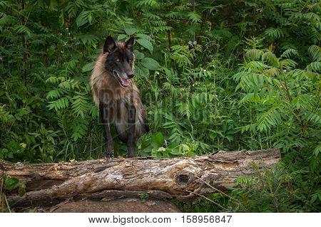 Grey Wolf (Canis lupus) Poses On Log - captive animal