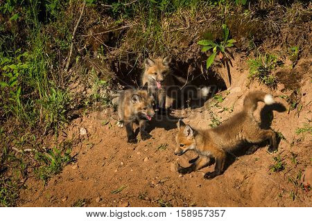 Three Red Fox Kits (Vulpes vulpes) Gather at Den - captive animas