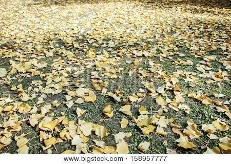 golden gingko leaves on ground in autumn