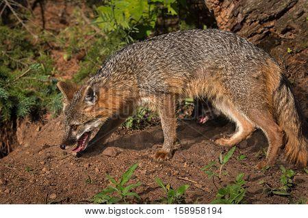Grey Fox Vixen (Urocyon cinereoargenteus) Stalks Left - captive animal