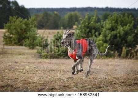Coursing. Irish Wolfhound dog runs across the field. Autumn day