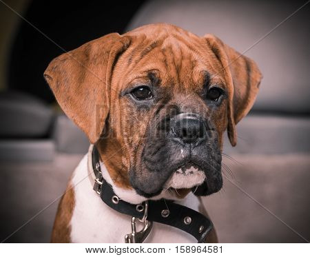 small dog breed boxer puppy sitting in a car boot, waiting patiently, carefully looking away, close-up portrait, pup, on a puppy black collar around his neck