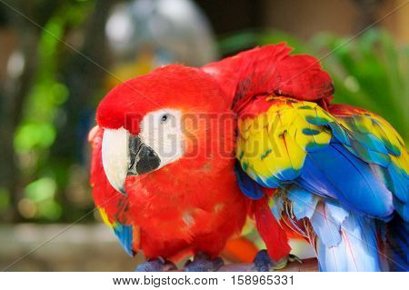 Parrots Ara red in jungle in Mexico