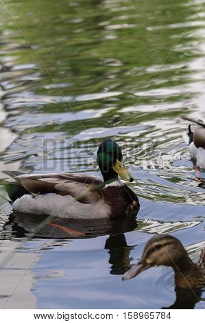 Close-up of a swimming Mallard duck on a sunny day. Mallards at the Lake