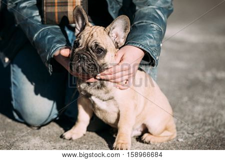 Funny Lovely French Bulldog Dog Puppy In Park Outdoor. Popular breed of dog
