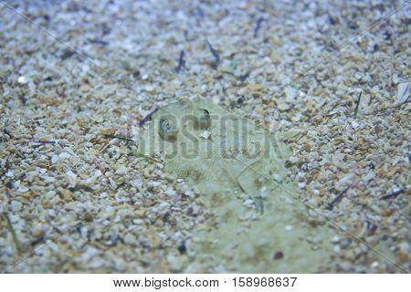 Senegalese sole (Solea senegalensis). Marine fish.