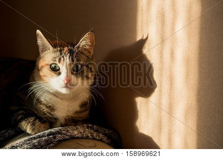 Savannah colored cat with deep yellow green eyes and tassels on the ears looking at camera. Sunny hard light shadows