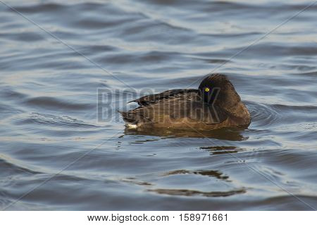 Tufted Duck (Aythya fuligula) female resting with one eye open on the surface