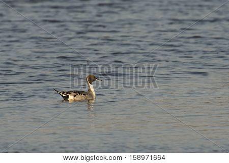 Northern Pintail (Anas acuta) drake swimming in water