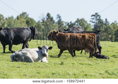 A herd of beef cattle on a Minnesota Farm