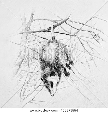 Sleeping opossum hangs on a tree branch.