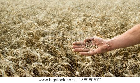 Hand of the grain-grower against a wheaten field