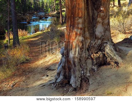 A dead ponderosa pine tree beside a riverside path at Fall River on a fall day.