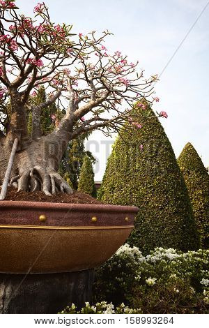 Small baobab bonsai in a tropical English garden. Little baobab tree blooming pink flowers in a pot among topiary bushes in a park