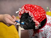 Funny dog brush their teeth with a toothbrush. Dog in a shower cap and gown. Man's hand. The concept of dental care cleanliness hygiene pets poster