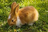 Cute little brown rabbit on green grass poster