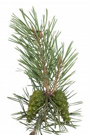 pine tree branch and cones on white background