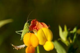 green grasshopper (tettigonia viridissima) sit on flower